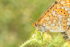 Particoloured butterfly landed royalty free stock images