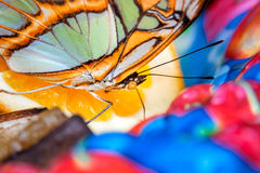 Butterfly. Close up shot of beautiful butterfly Royalty Free Stock Photography