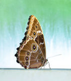 Butterfly with closed wings. A golden brown butterfly rest with wings closed against a muddled aqua background Stock Photo