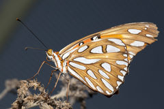 Butterfly closeup. Royalty Free Stock Image