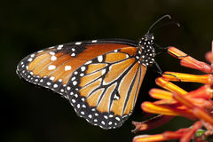 Butterfly closeup. Stock Photography