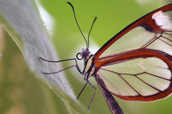 Butterfly closeup. A beautiful tropical butterfly, closeup and landscape format Royalty Free Stock Image