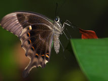 Butterfly - Closeup Royalty Free Stock Photography
