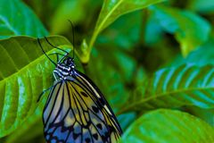 Butterfly closeup on bright green leaves. royalty free stock image