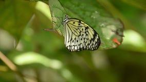 Butterfly closeup stock video