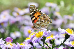 Butterfly. Closeup butterfly on flower Common tiger butterfly Royalty Free Stock Images