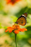 Butterfly. Closeup Monarch Butterfly feeding on orange flower Royalty Free Stock Photo