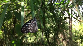 Butterfly closeup. Resting on foliage stock video footage