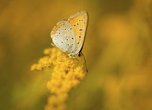 Butterfly closeup on the yellow flower Royalty Free Stock Photos