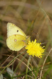 Butterfly Clouded yellow Stock Photography