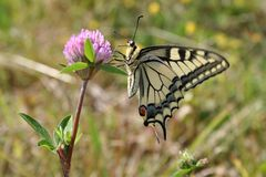 Butterfly on the clover stock photos