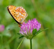 Butterfly on clover. Butterfly sits on a clover collects nectar Royalty Free Stock Images