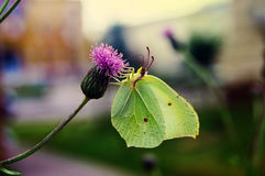 Butterfly on clover. Blurred background royalty free stock image