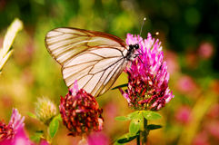 Butterfly on clover. Butterfly eating on clover. background royalty free stock photography