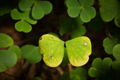 Butterfly of Clover Leafs Stock Photos