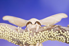 Butterfly of cocoon and eggs Royalty Free Stock Photos