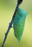 Butterfly cocoon in nature Stock Photo