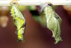Butterfly cocoons. A pair of butterfly cocoons Stock Photo