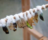 Butterfly cocoons. A closeup chrysalis butterflies, larvae and cocoon royalty free stock photo