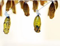 Butterfly cocoons Royalty Free Stock Images