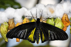 Butterfly and cocoons Stock Photos