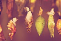 Butterfly Cocoons Hanging on a Twig Royalty Free Stock Photos