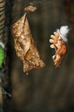 Butterfly Cocoons Hanging on a Twig Royalty Free Stock Photo