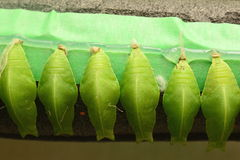 Butterfly cocoons Royalty Free Stock Photography