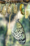 Butterfly and cocoons Stock Photography