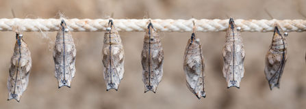 Butterfly cocoons on a stick. Some butterfly cocoons on a stick Stock Images