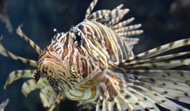 Butterfly Cod Up Close in the Deep Ocean Waters Stock Photography