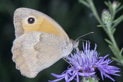 Butterfly coenonympha pamphilus Stock Photo