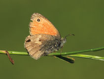 Butterfly Coenonympha pamphilus Royalty Free Stock Photo