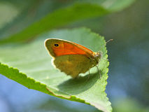 Butterfly (Coenonympha pamphilus) Stock Images