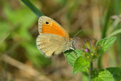 Butterfly (Coenonympha pamphilus) Royalty Free Stock Photo