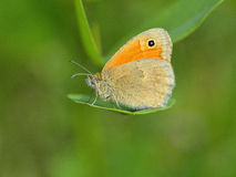 Butterfly  ( Coenonympha pamphilus) Royalty Free Stock Photo