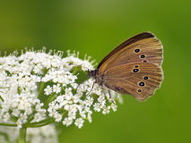 Butterfly (Coenonympha) on white flower Royalty Free Stock Photography