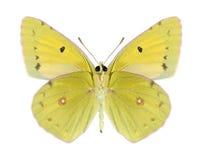 Butterfly Colias aurorina (male) (underside) Stock Photos