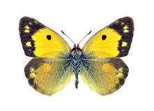 Butterfly Colias crocea (female) Stock Images