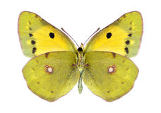 Butterfly Colias crocea (female) (underside) Royalty Free Stock Photos