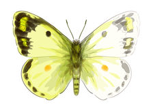 Butterfly Colias Erate. Stock Photos