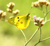 Butterfly (Colias erate) Stock Photography