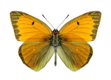 Butterfly Colias heos (male) Stock Photo