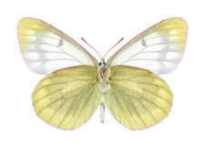 Butterfly Colias tyche montana (underside) Royalty Free Stock Photos