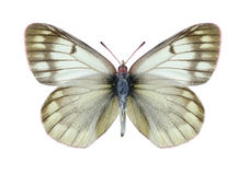 Butterfly Colias tyche montana Royalty Free Stock Image