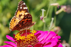 Butterfly collecting nectar Royalty Free Stock Image