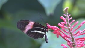 Butterfly collecting nectar stock video footage