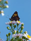 The butterfly collecting pollen Royalty Free Stock Photos