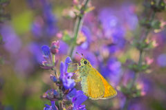 Butterfly collecting pollen Stock Image