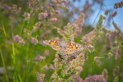 Butterfly collecting pollen Royalty Free Stock Images